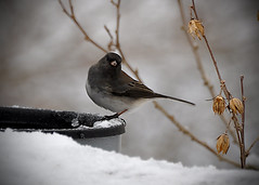 animal, branch, winter, snow, nature, fauna, junco, close-up, beak, bird,