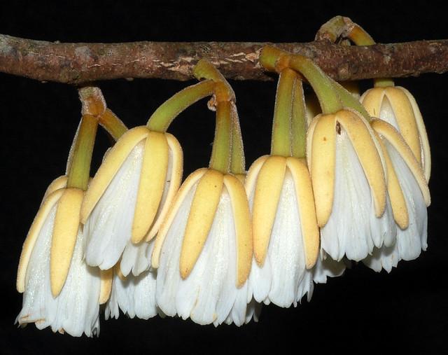 Elaeocarpus stellaris DSC_0116