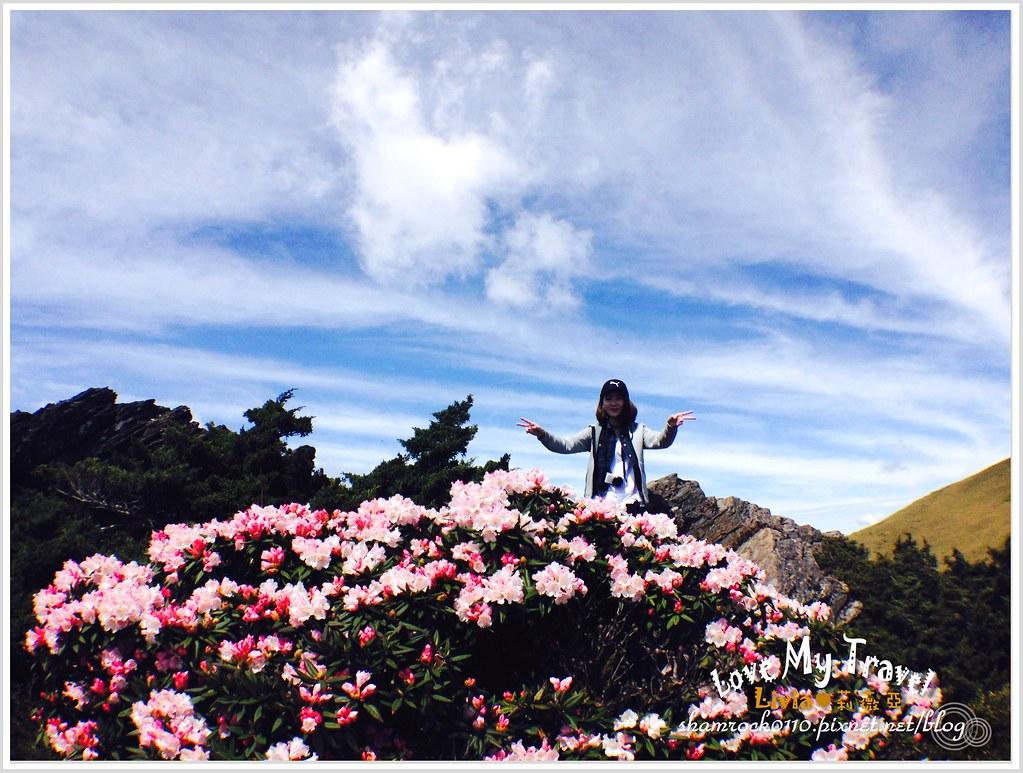 合歡山杜鵑花 -25