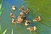 Mallard Duck and Ducklings 16-0604-0287 by digitalmarbles