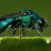 Cuckoo wasp by carsandkites
