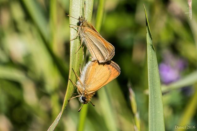 Hespérie de la houque Thymelicus sylvestris