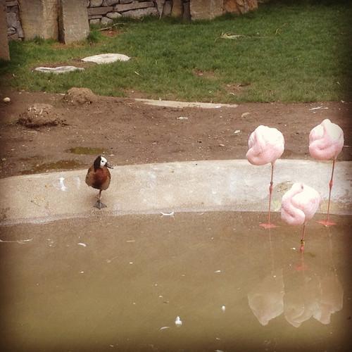 duckmingo