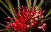 My Back Yard -  grevillea