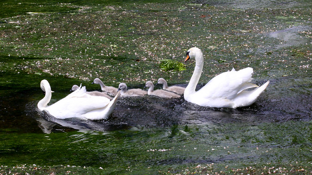 Seven Swans a-swimming | Flickr - Photo Sharing!