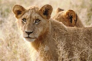 Jock Lion Cubs May 2013