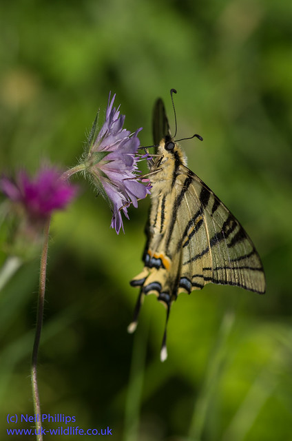 scarce swallowtial butterfly 3