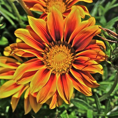 Garden Gazania ....(205/365) by Irene_A_