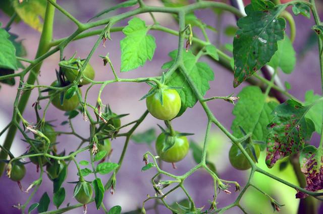 tomatenwerdung