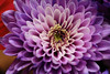 Macro experiments - chrysanthemum