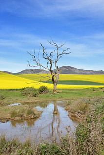 Overberg tree and canola fields