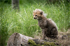 Look who put in an appearance today - Northern Cheetah Cub - Chester Zoo