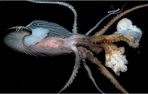 船蛸的體殼兼具防禦及孵育室的雙重功能。
