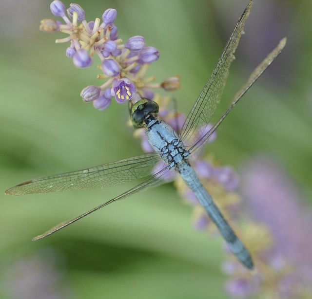 dragonfly on flowers