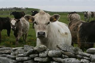 North Ronaldsay cattle