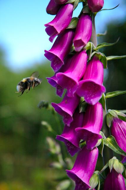 Bee and Foxglove
