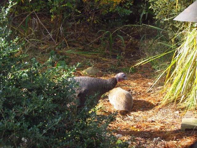 Woodchuck and turkey3 11:9:13