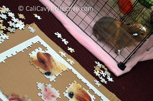 Pigs supervising puzzle progress