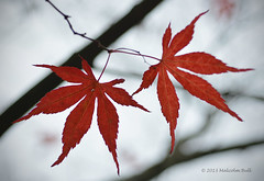 Autumn Acer - Sheffield Park (12)