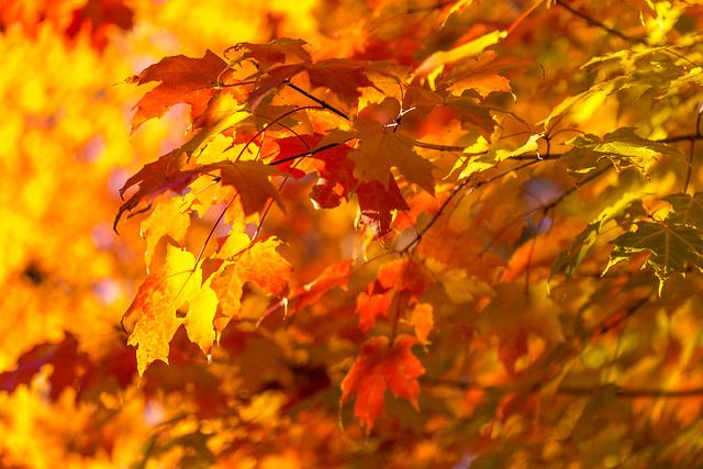A fiery tumble of leaves