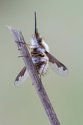 Bombylius major - I
