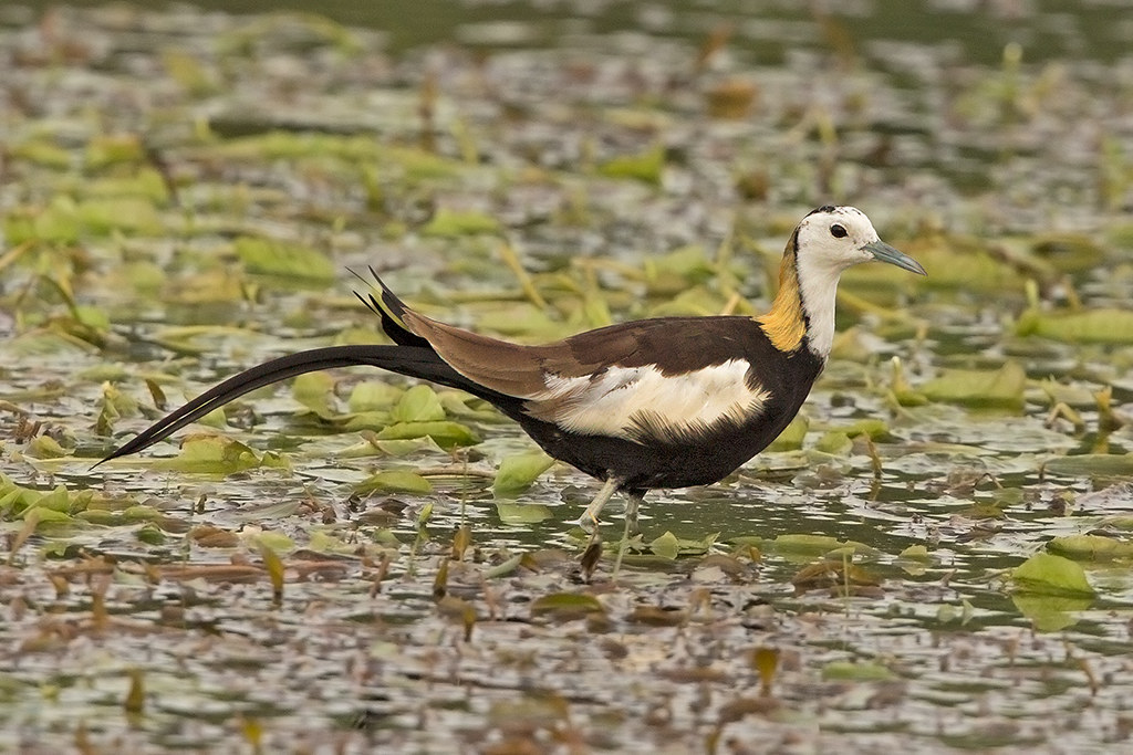 Pheasant Tailed Jacana  Sri Lanka 2013-11-29
