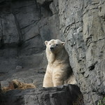 Polar bear - very relaxed