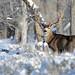Trophy Mule Deer Buck - 6794b2 by teagden