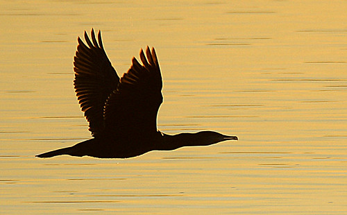uk winter light sunset sea sun colour water silhouette speed flying wings flight january dorset cormorant ripples shape poole stevemaskell 2014 phalacrocoraxcarbo holesbay naturethroughthelens