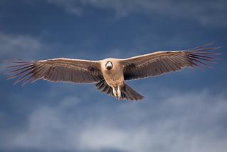 Juvenile Condor