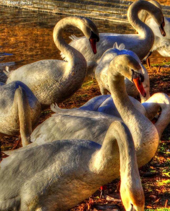 Godmanchester Swans