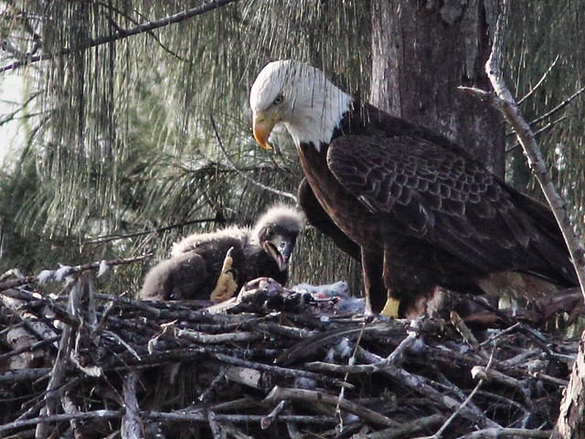 Bald Eaglet with big yellow foot 20140205