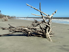 083 Washed out trees Hunting Island SP SC 6691