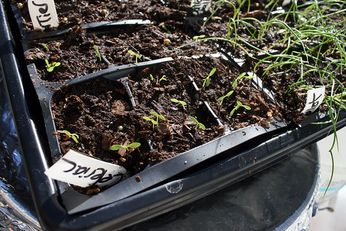 celeriac seedlings 020