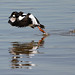 Common Goldeneye by Kevin Tupman Photography