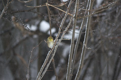 Bay-Breasted Warbler, Late Winter
