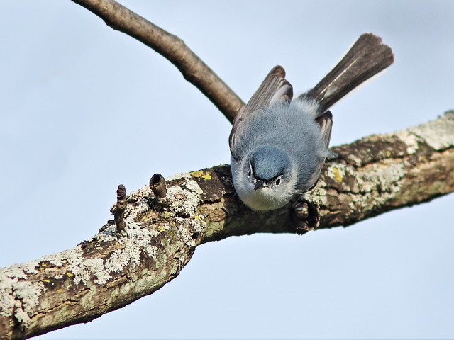 Blue-gray Gnatcatcher 20140505
