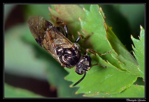 Sterictiphora germinata/longicornis