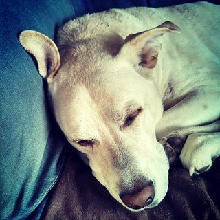 Monday already? Zeus says Good Morning IG! #dogstagram #instadog #ilovemydogs #ilovemyseniordog #seniordog