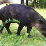 Tapir Zoo Wuppertal CK