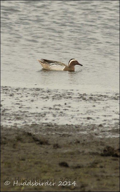 Garganey Male