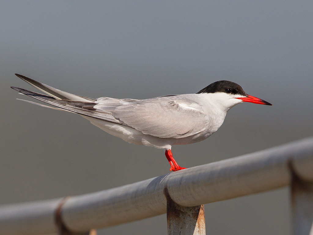Common Tern 32014-05-02
