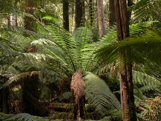 076 Dicksonia antarctica, Warra LTER, Tasmania