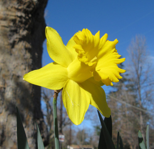 Daffodill 0215