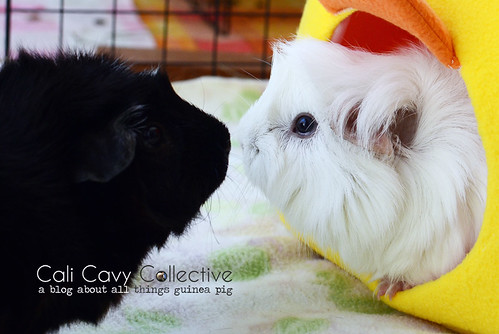 Bonded guinea pig friends Revy and Abby-Roo