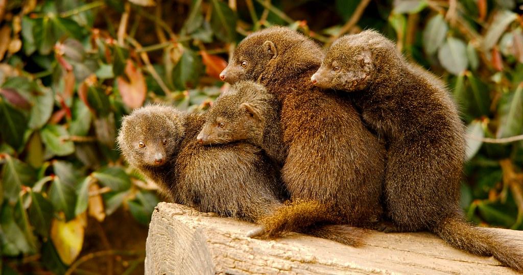 Common Dwarf Mongoose (Helogale parvula)_6