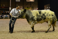 animal sports, rodeo, cattle-like mammal, mammal, dairy cow, performance,