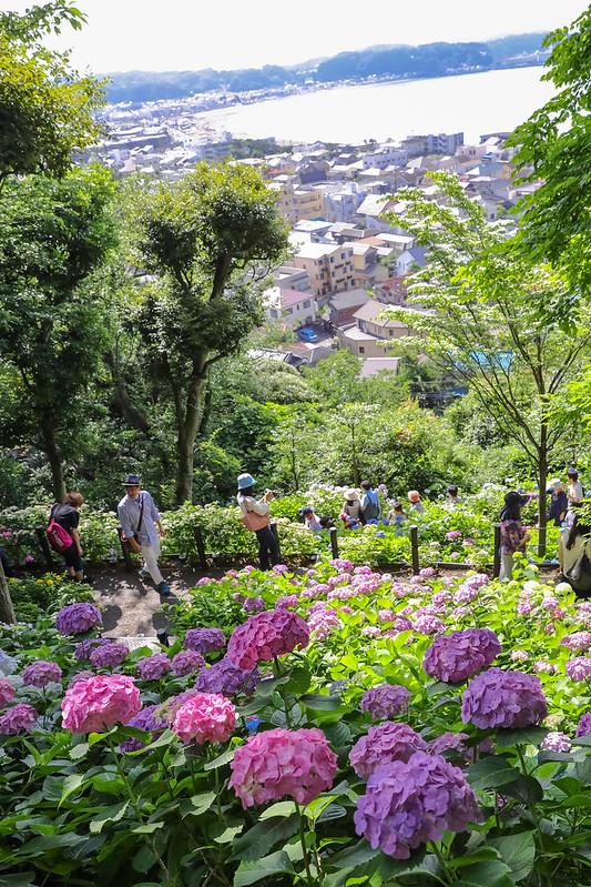 長谷寺 紫陽花と海