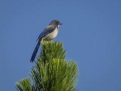 _WCB7560 Quail Hollow Ranch bird walk-Western Scrub-Jay