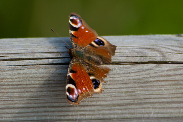 Peacock butterfly on a rail